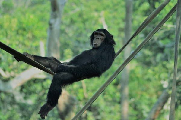 Chimpanzee Chill